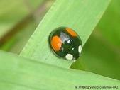昆蟲相簿:赤星瓢蟲 內湖