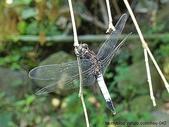 昆蟲相簿:鼎脈蜻蜓 台北 新北投