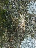 昆蟲相簿:台灣騷蟬 台北 內湖 ♀蟲
