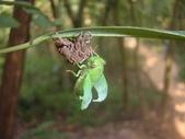 昆蟲相簿:薄翅蟬 台北 內湖 大崙尾山