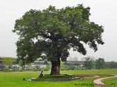 神木.老樹:加蚋仔 茄冬老樹