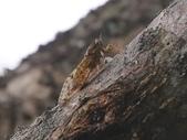 昆蟲相簿:小暮蟬 ♂蟲 宜蘭 太平山道路