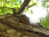 昆蟲相簿:紅脈熊蟬♀ 新竹 新豐