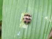 昆蟲相簿:杜虹十星瓢蟲 五指山