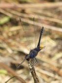 昆蟲相簿:樂仙蜻蜓 新竹 關西 石牛山