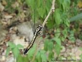 昆蟲相簿:鼎脈蜻蜓♀ 基隆 友蚋