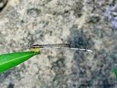 昆蟲相簿:脛蹼琵蟌 台北 南港