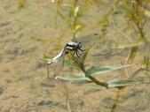 昆蟲相簿:扶桑蜻蜓 新北 貢寮 土地公嶺