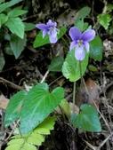 花花世界(二):紫花菫菜 新竹 尖石 宇老
