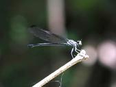 昆蟲相簿:短尾幽蟌 ♀ 新竹 玉峰