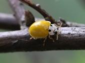 昆蟲相簿:黃瓢蟲 台北市區