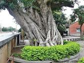 神木.老樹:回善寺老榕樹