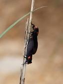 昆蟲相簿:黑翅蟬 苗栗 通霄