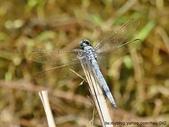 昆蟲相簿:呂宋蜻蜓 雙溪 柑腳