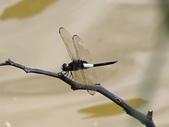 昆蟲相簿:黃紉蜻蜓 苗栗 大湖 淋漓坪