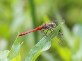 昆蟲相簿:長尾蜻蜓 基隆 大武崙 內寮