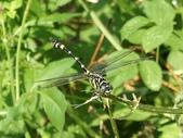 昆蟲相簿:粗鉤春蜓 新北 金山