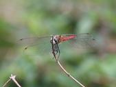 昆蟲相簿:長尾蜻蜓 基隆 大武崙 情人湖