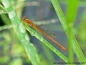昆蟲相簿:紅腹細蟌 雙溪 內平林