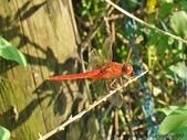 昆蟲相簿:猩紅蜻蜓♂ 台北 內溝