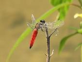 昆蟲相簿:廣腹蜻蜓 台北 內湖 大溝溪