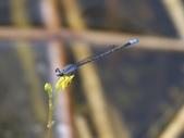 昆蟲相簿:葦笛細蟌 汐止 夢湖