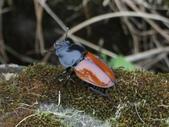 昆蟲相簿:紅圓翅鍬形蟲♀