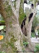 神木.老樹:楊梅750年老樟樹