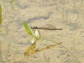 昆蟲相簿:葦笛細蟌 台北 貢寮 土地公嶺