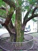 神木.老樹:公館 北和茄苳