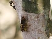 昆蟲相簿:端黑蟬 基隆 七堵 友蚋