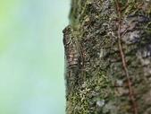昆蟲相簿:台灣姫蟬 宜蘭 台7丙