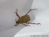 昆蟲相簿:阿樓姬長腳金龜