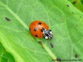 昆蟲相簿:七星瓢蟲 北海岸 石門