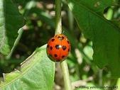 昆蟲相簿:小十三星瓢蟲 坪林