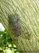 昆蟲相簿:台灣騷蟬♂ 淡水