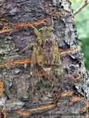 昆蟲相簿:陽明山暮蟬 鹿角坑