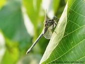 昆蟲相簿:呂宋蜻蜓 內湖