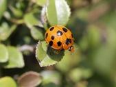 昆蟲相簿:小十三星瓢蟲 陽明山國家公園 七星山