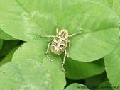 昆蟲相簿:台灣姬長腳金龜 武陵農場