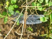 昆蟲相簿:薄翅蜻蜓 台北 唭哩岸