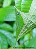 昆蟲相簿:青黑琵蟌 台北 平溪