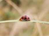 昆蟲相簿:厚顎食植瓢蟲 頂山