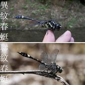 昆蟲相簿:異紋春蜓與聯紋春蜓