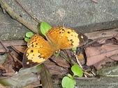 昆蟲相簿:台灣黃斑蝶 台北 仙跡岩
