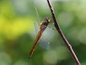 昆蟲相簿:薄翅蜻蜓 ♀蟲 陽明山國家公園 馬槽