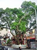 神木.老樹:長慶廟 晉江街老榕樹