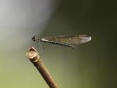 昆蟲相簿:棋紋鼓蟌 ♀蟲 木柵 小坑溪