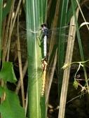 昆蟲相簿:呂宋蜻蜓連結 台北 內溝