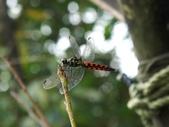 昆蟲相簿:廣腹蜻蜓 台北 內湖 新坡尾